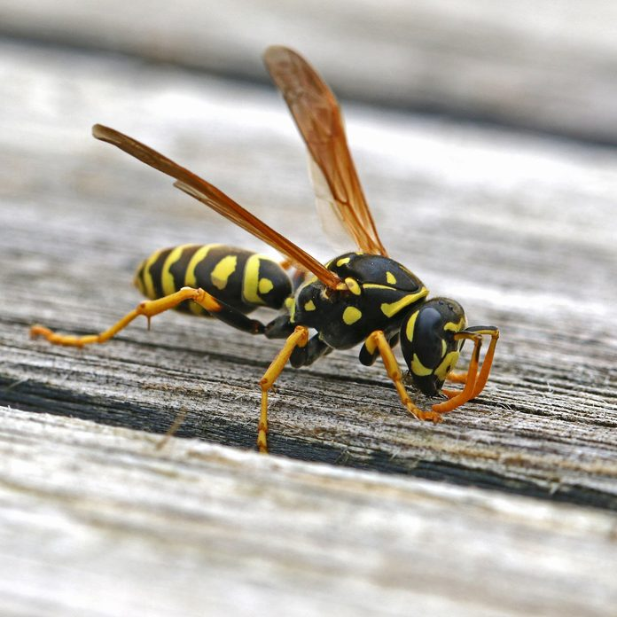 Tree wasp, or paper wasp very close up stripping wood
