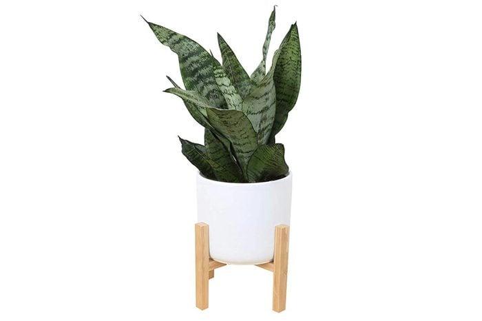 03_Snake-plant