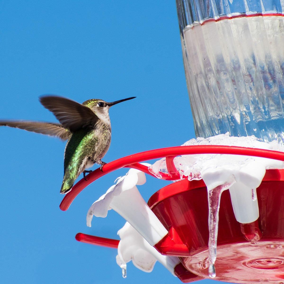 hummingbird in winter