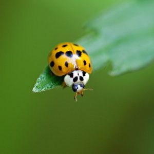 Lady Bug vs. Asian Lady Beetle: What to Know