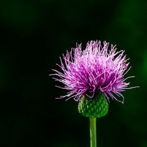 How to Get Rid of Thistle for Good