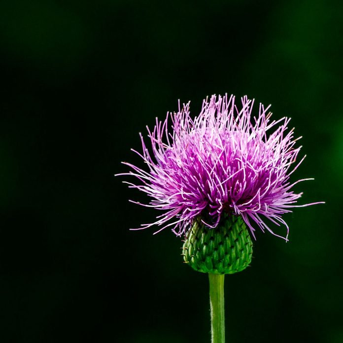 Canada Thistle weed