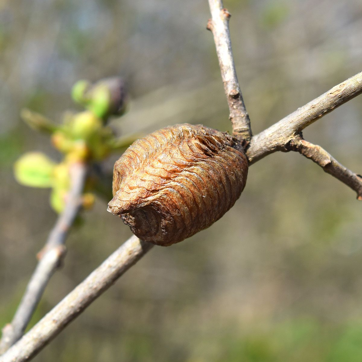 insect in cocoon in winter
