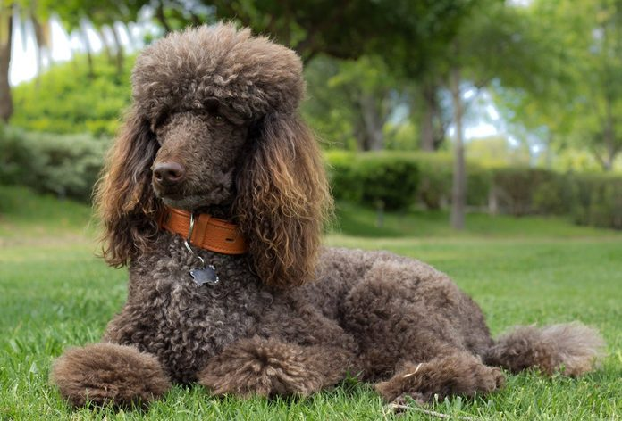 Portrait of a standard poodle laying in grass - Stock photo