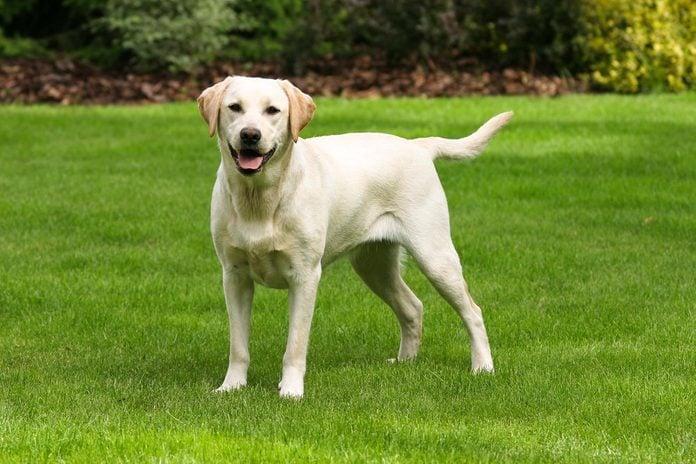 Yellow labrador retriever on green grass lawn