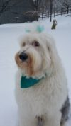 White dog with blue hair bows sitting in the snow
