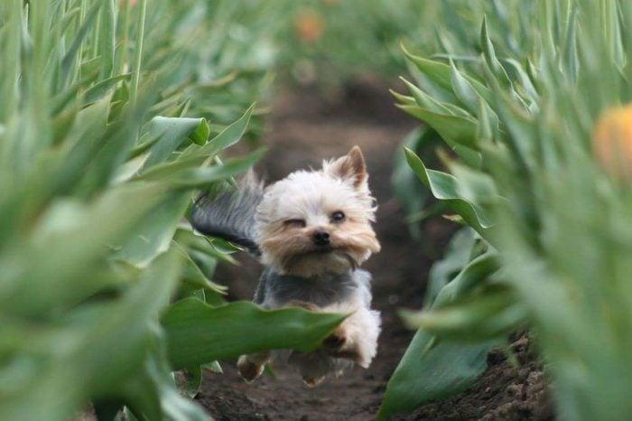 Little dog running through tulip field
