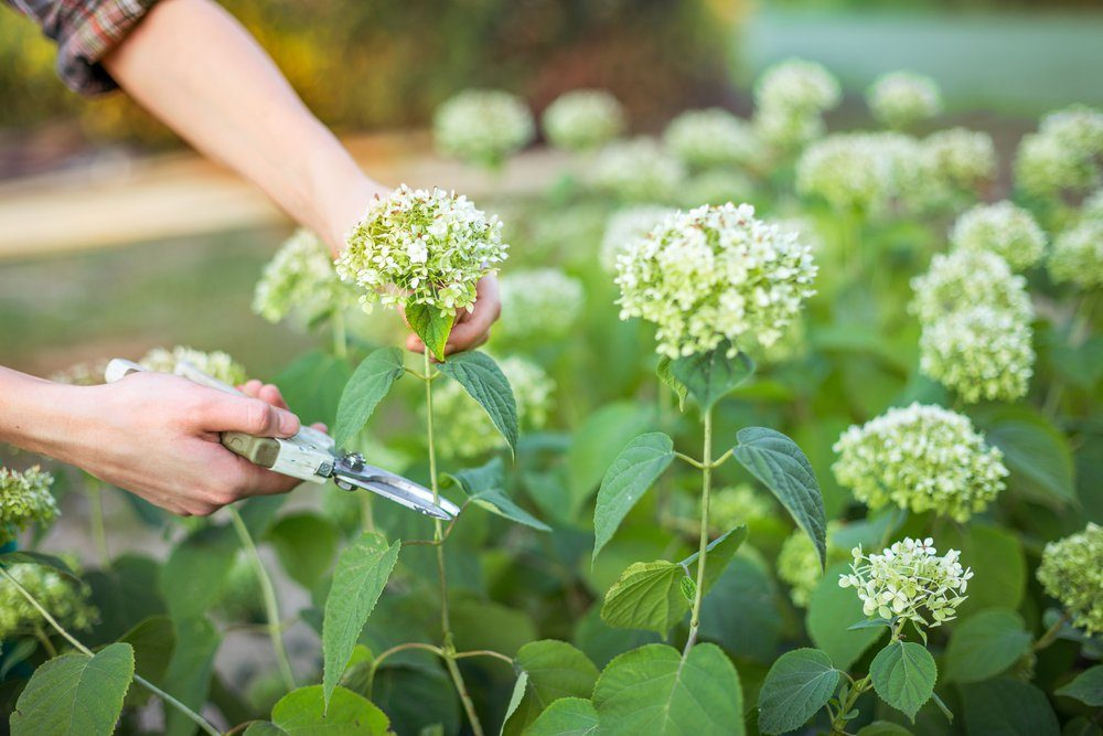 Bush (hydrangea) cutting or trimming with secateur in the garden