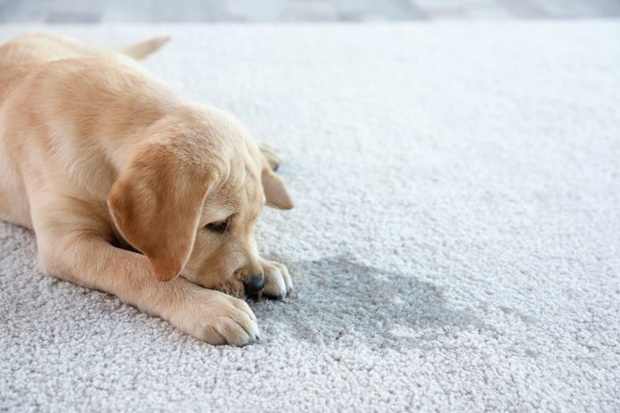 Cute puppy lying on carpet near wet spot