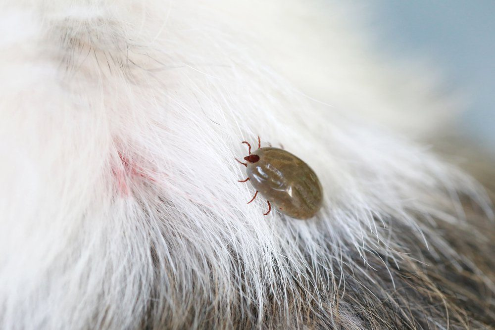 Big Tick on a dog in clearing,Sucking the blood of dogs and insect spreading pathogens.