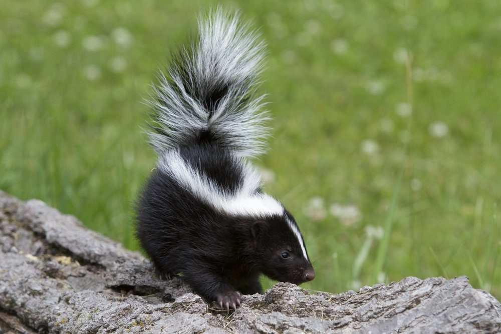 Pretty Little Skunk