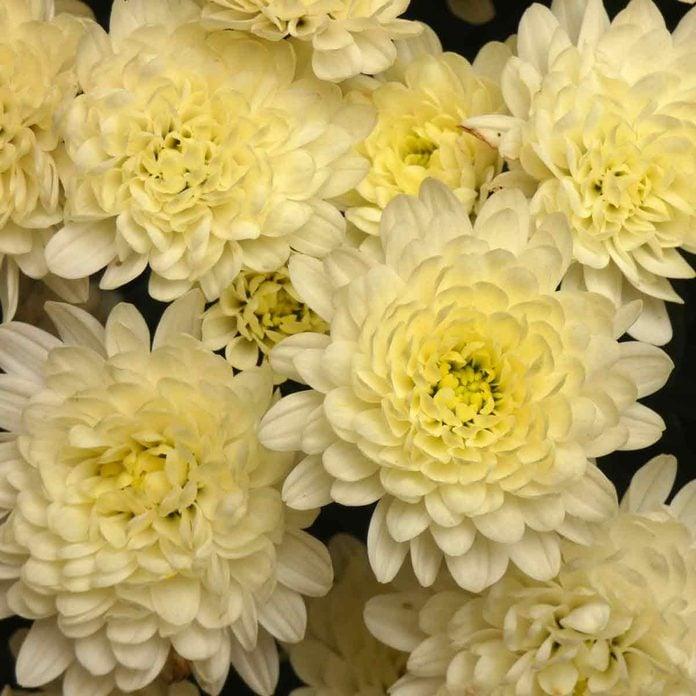 Chrysanthemums White Yellow Flowers