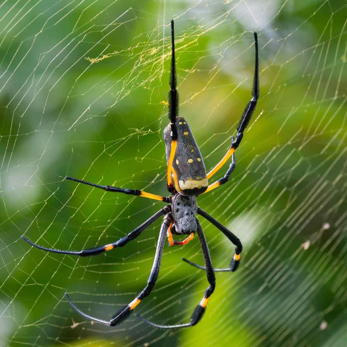 Orb-weaver-spider