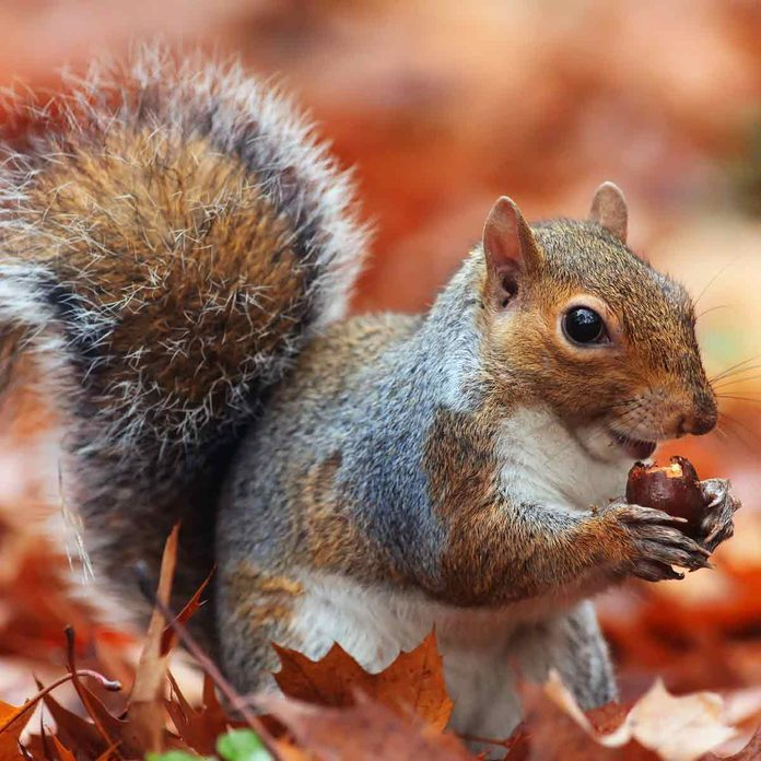 Squirrel-standing-up-with-acorn-in-paws
