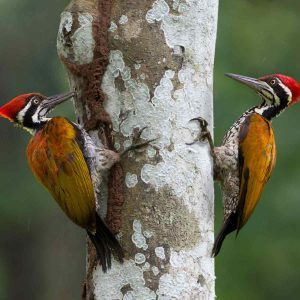 Do Woodpeckers Hurt Trees?