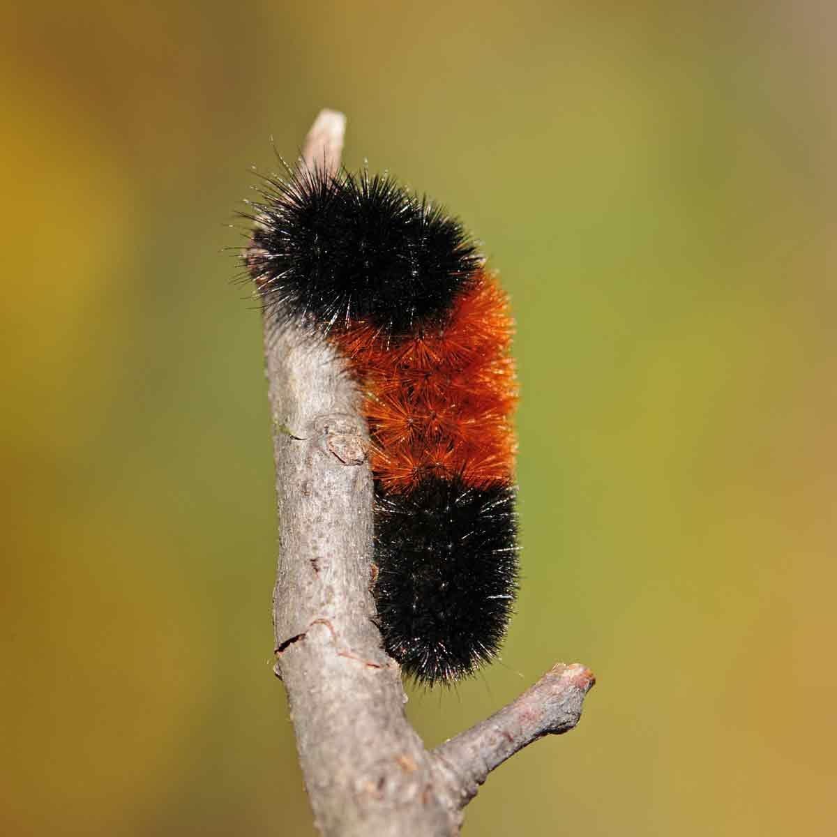 Woolly-caterpillar