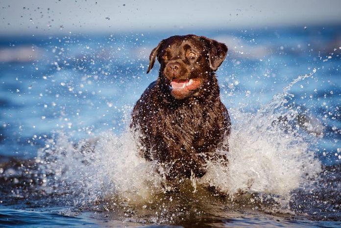 labrador retriever dog runs in water