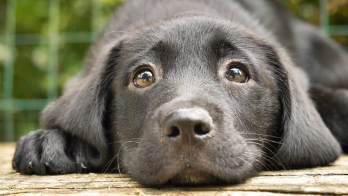 A beautiful little kid is a black labrador (dog), sits, on a green background. Concept: parodist dogs, pedigree dogs, dog friend of man, animal love, true friends, rescuers, good scent, loving friends