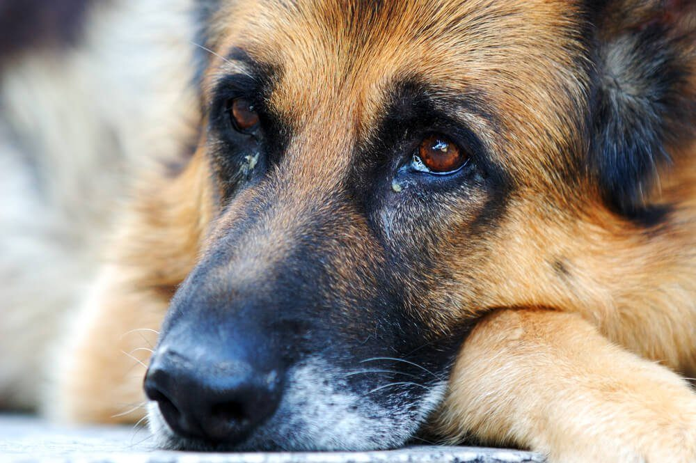 Closeup of a German shepherd dog, leaning on ground with sad face