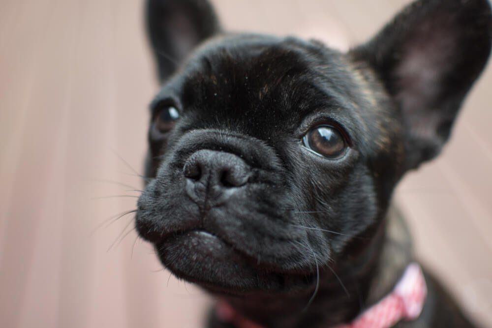 Brindle French Bulldog puppy in pink collar sitting on decking.