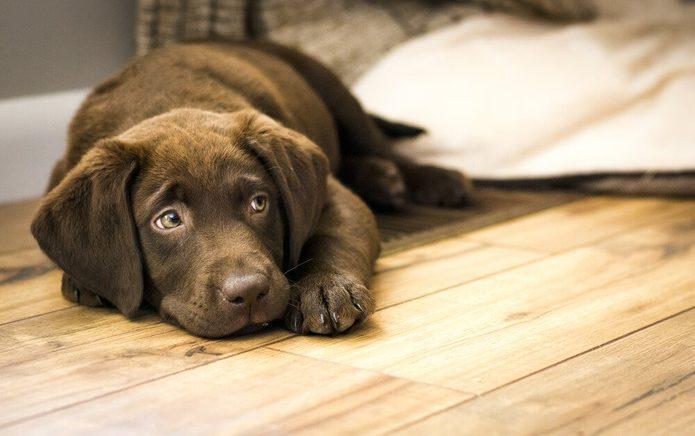 Chocolate Labrador Puppy Resting on Wood Floor