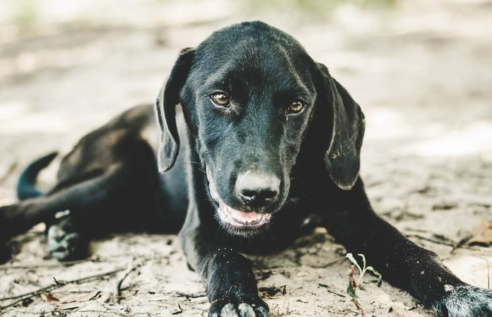 Closeup of a beautiful Black Labrador puppy lying on the sand at the lake shore, panting to catch his breath after play