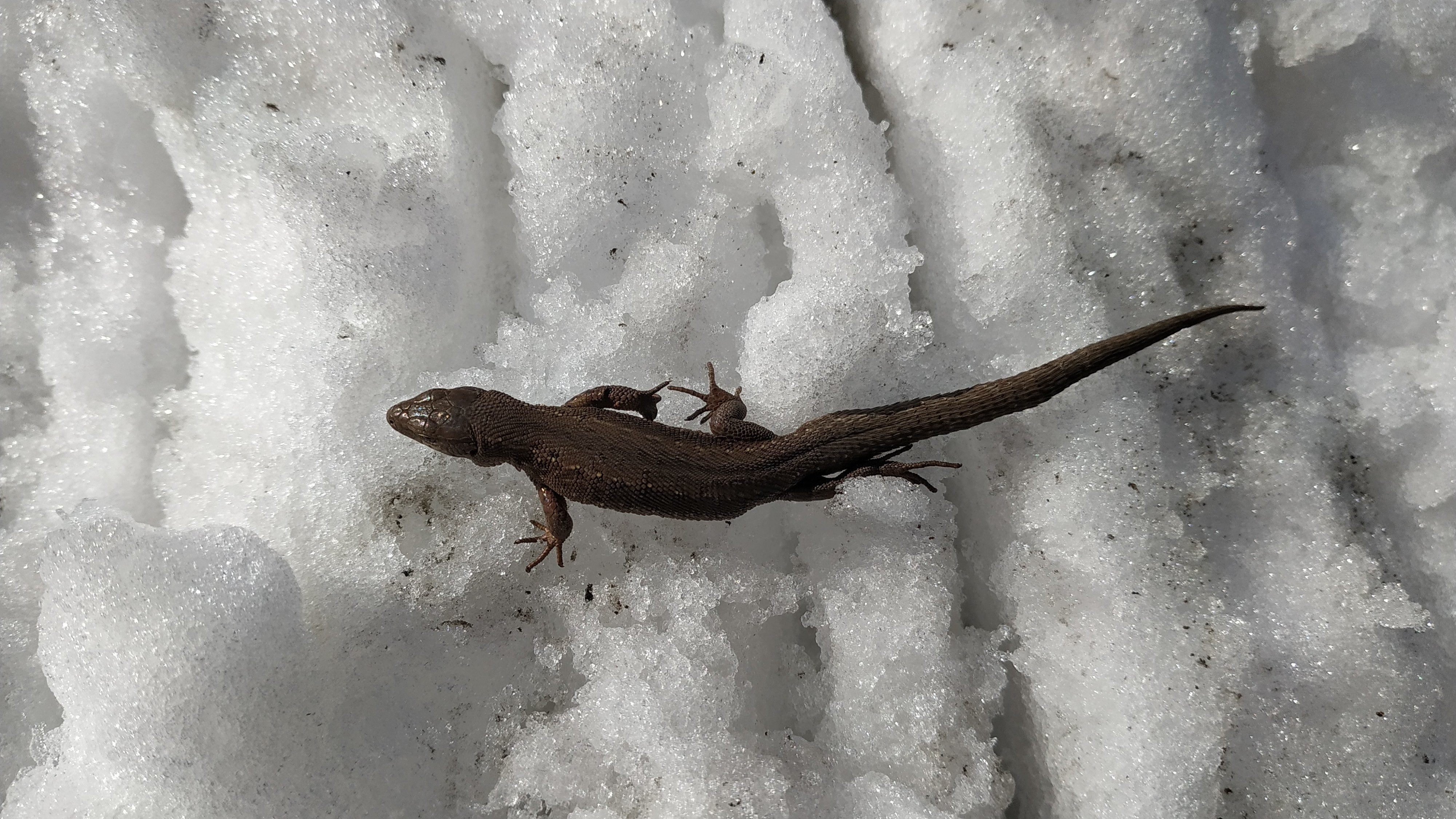 Lizard after wintering get out to warm up