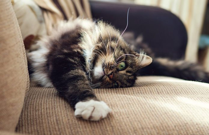 Fluffy domestic cat stretching on the sofa