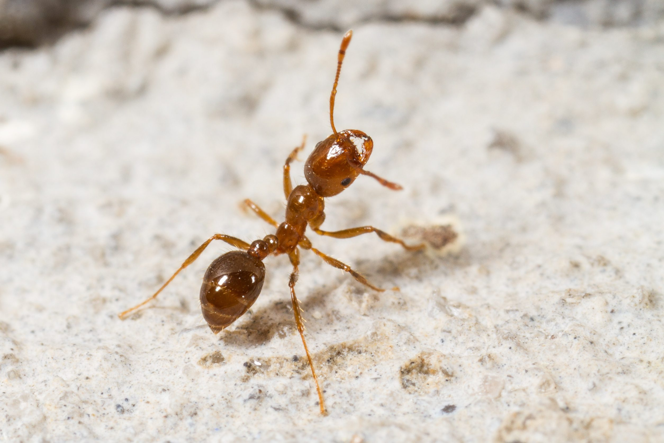 Red Imported Fire Ant, Solenopsis invicta