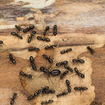 The Ultimate Guide to Dealing with Ants, Mice and other Pesky Pests