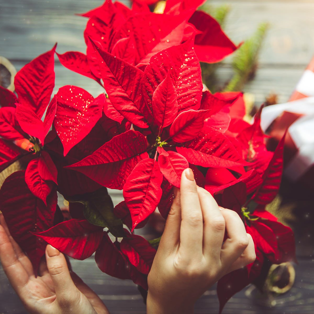 How To Care For Christmas Flowers The Family Handyman