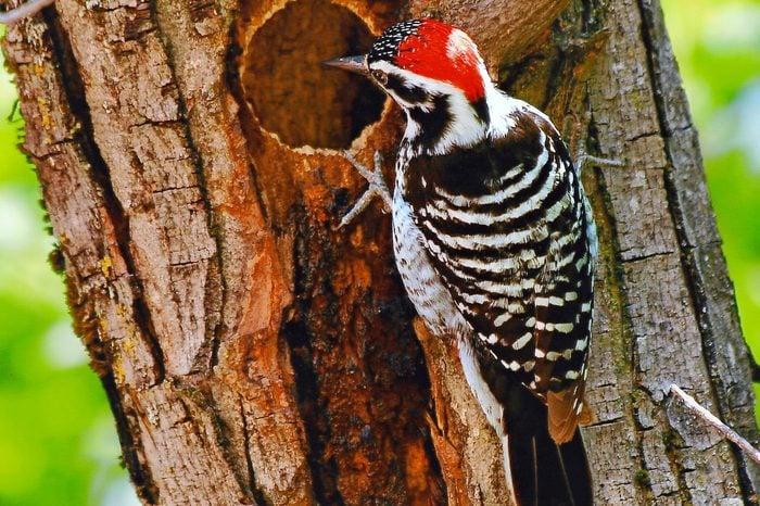 nuttallswoodpecker