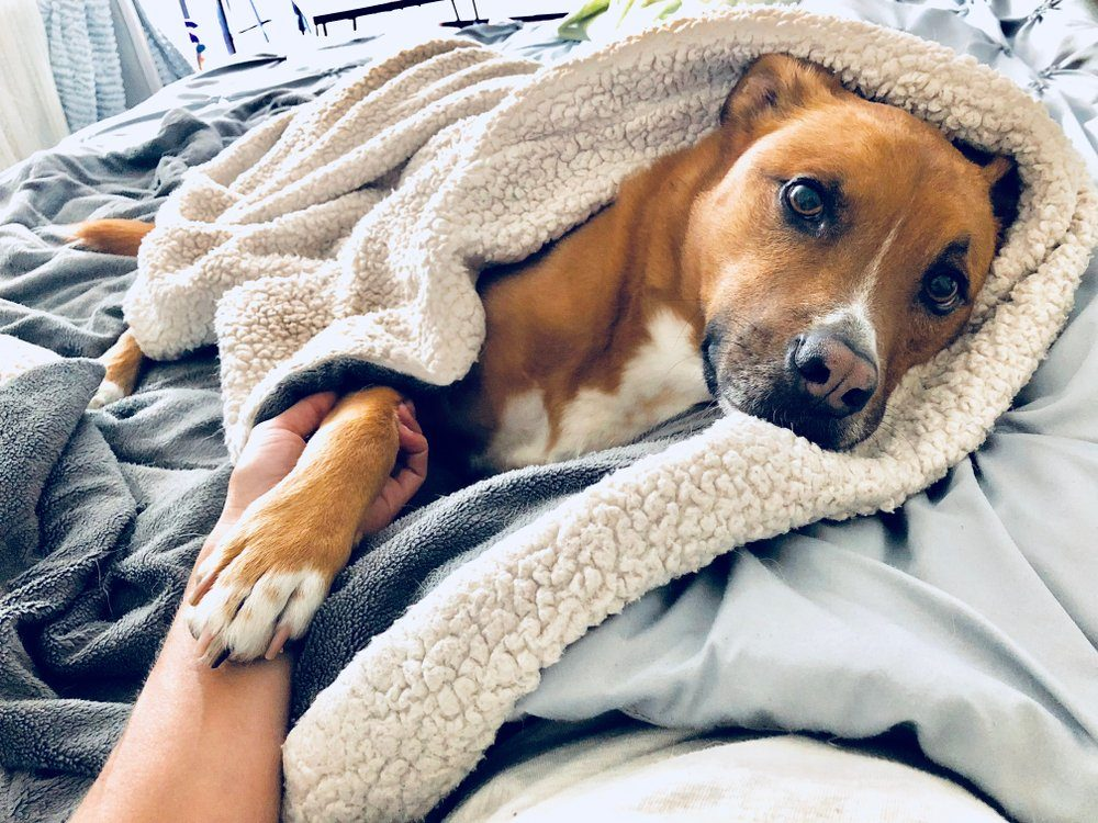 Pit Bull Shepherd Dog Wrapped in Blanket Cozy Nap in Bed Holding Owner's Hand