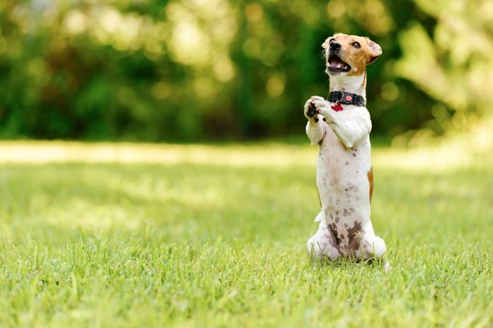 Dog sitting on hind legs begging with paws in praying gesture