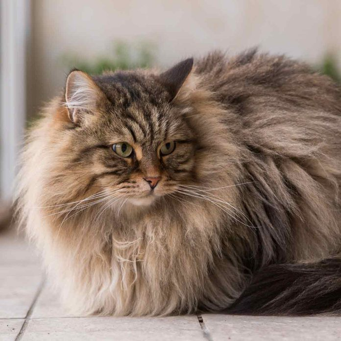 Cute-long-haired-cat-of-siberian-breed-furry-hypoallergenic