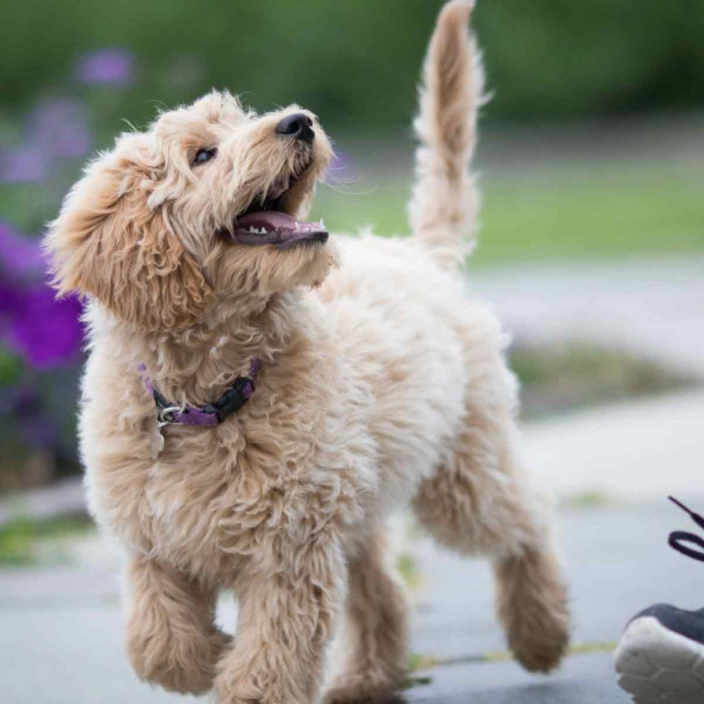 Labrador-poodle-puppy-looking-at-owner