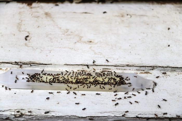 Ant poison trap filled with ants - dead and alive - sitting on old wood - shallow focus