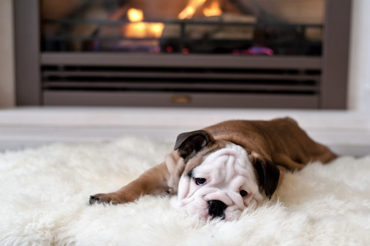 english bulldog puppy lies by the fireplace - 8 weeks old