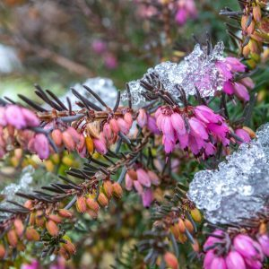 Winter Heath Blooms Long Before Spring Arrives