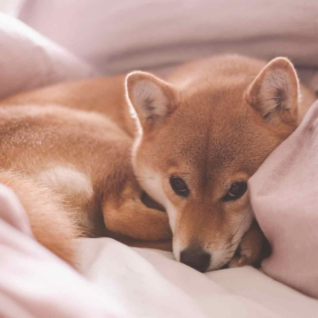 Cute-female-pedigree-shiba-inu-dog-with-red-fur-sleeping-in-human-bed-with-pink-sheets
