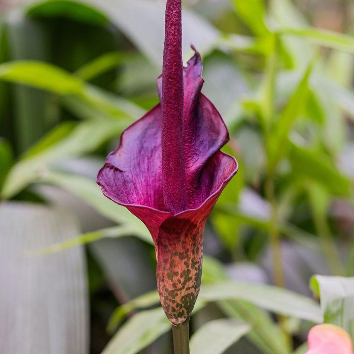 Devil's tongue flower