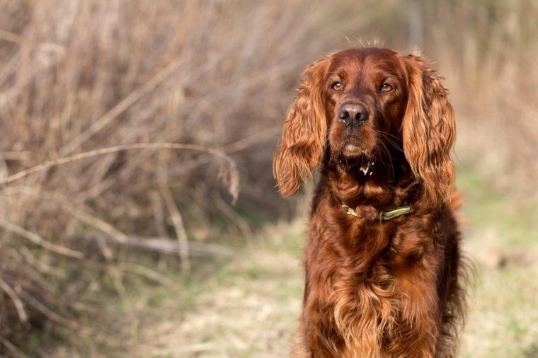 quiet and calm dog breeds