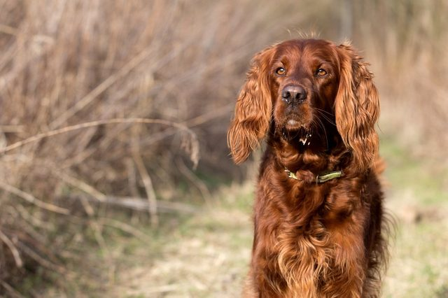 quiet and calm dog breeds