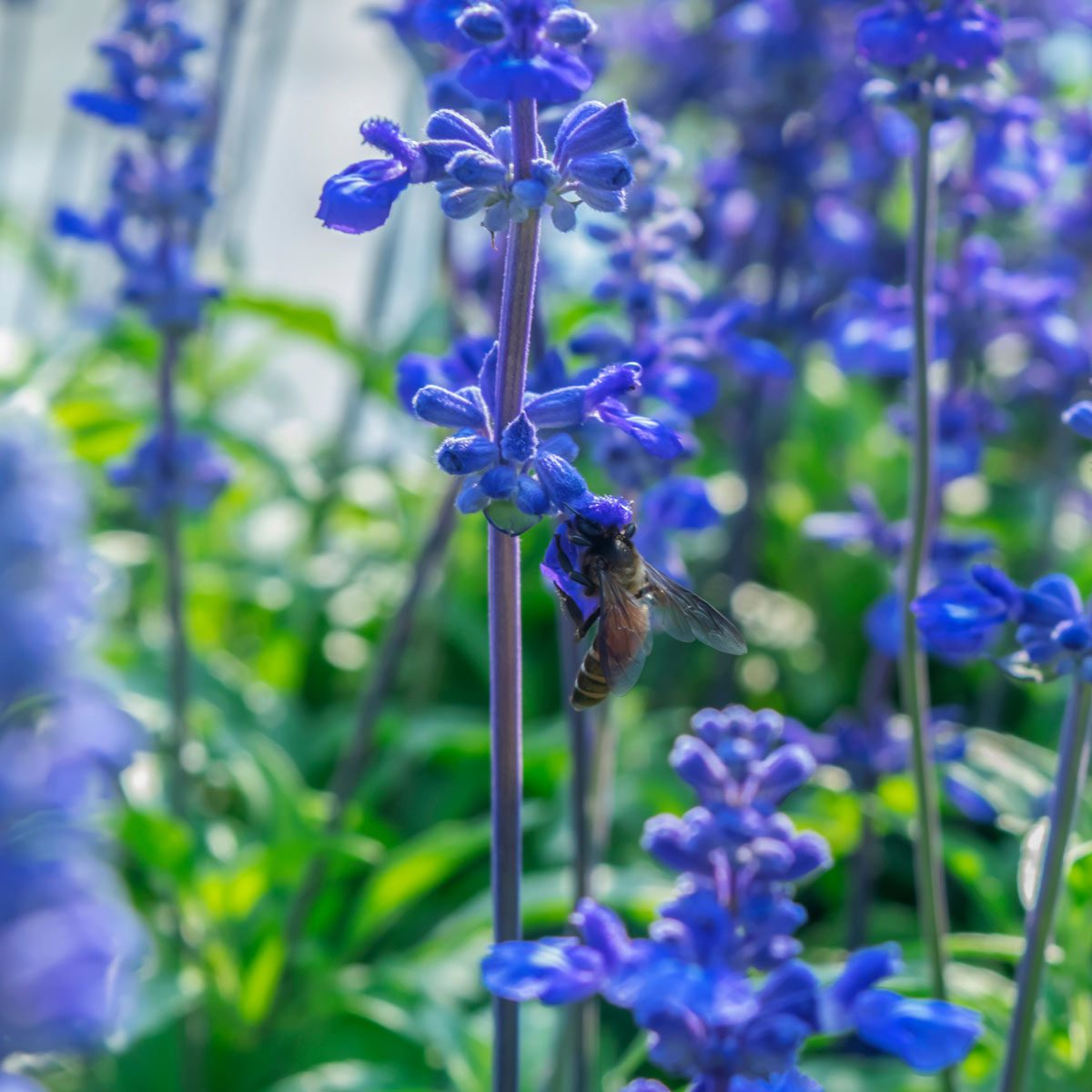 Blue salvia flower field background bee