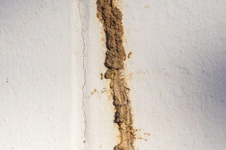 Termite making their route or Mud tunnel
