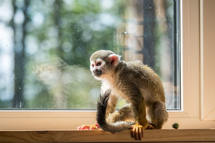 Squirrel monkey home pet (not in wildlife)