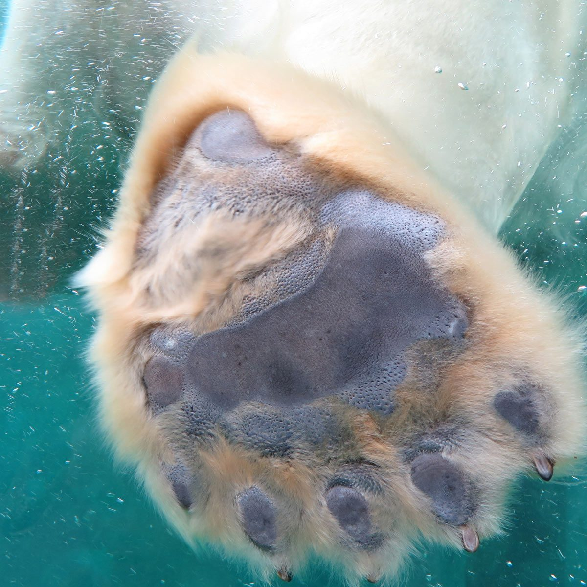polar bear paw