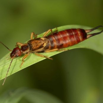 Your Guide to Identifying, Preventing and Getting Rid of Earwigs