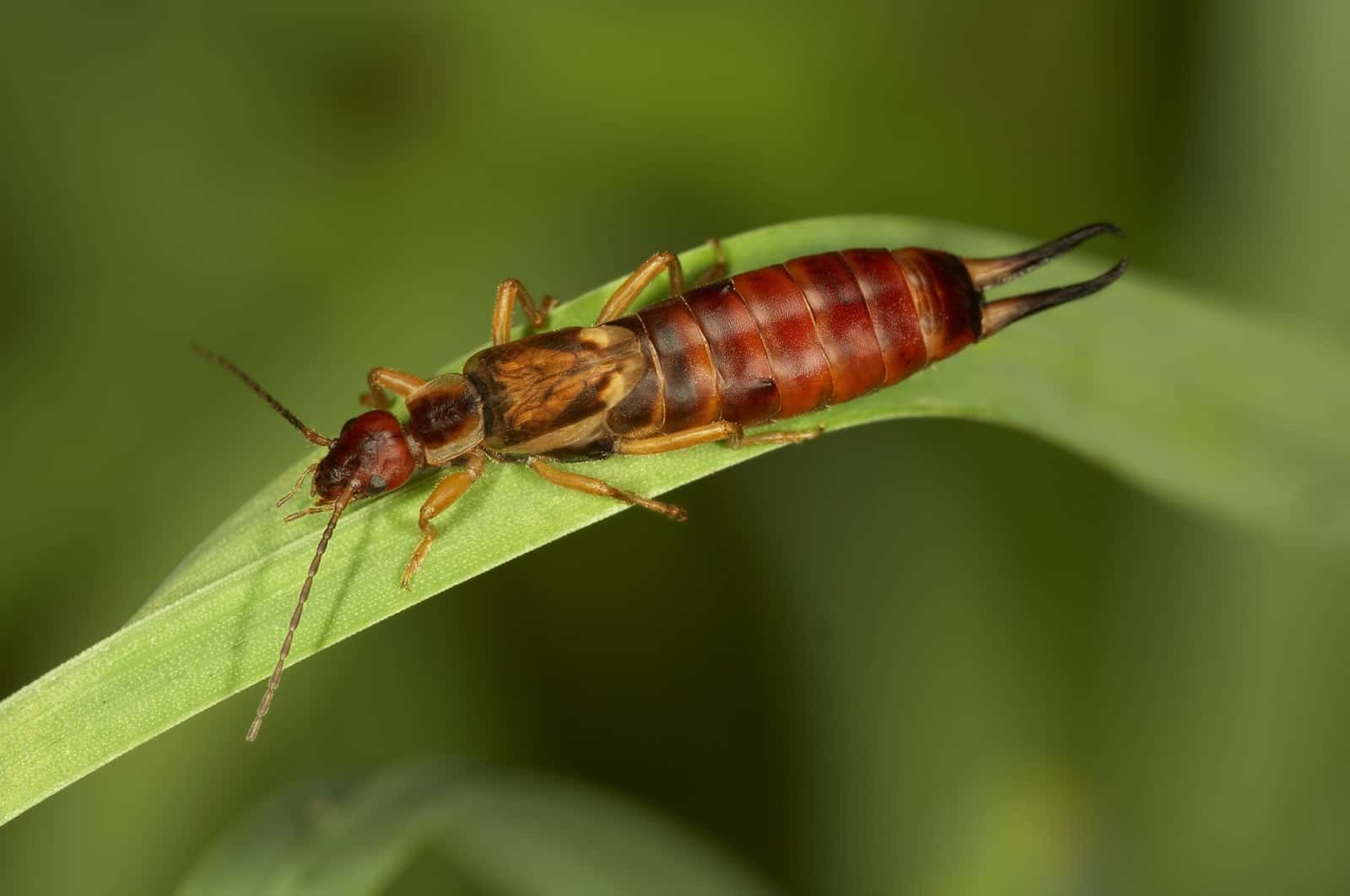 Earwigs: A Guide to Identifying, Preventing and Getting Rid of Earwigs