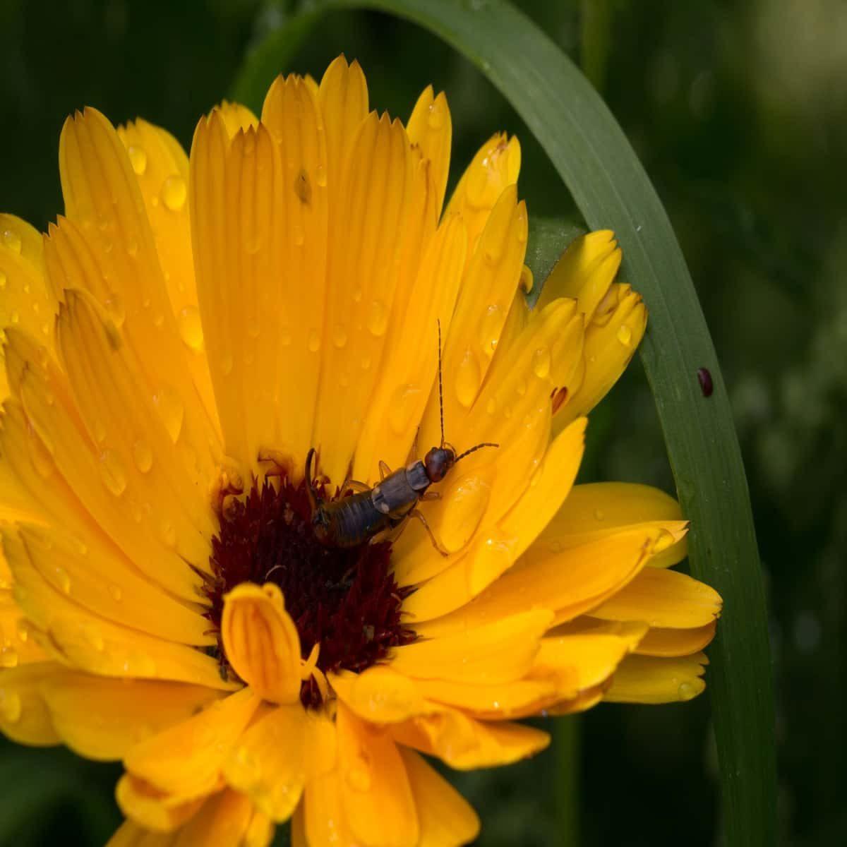 Earwig on a flower